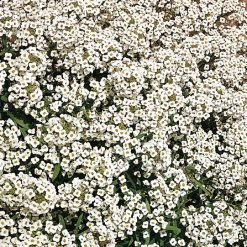Alyssum Carpet Of Snow| Flower Seeds| Nationwide Delivery