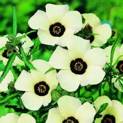 Hibiscus Seeds - Simply Love by Suttons Seeds| 117389| Nationwide Delivery On Flower Seeds