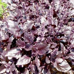 Basil Round Midnight P&P by Suttons Seeds  142019  Nationwide Delivery