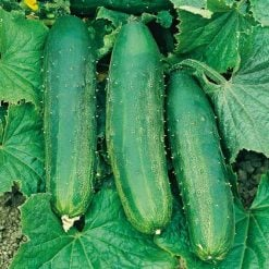 Cucumber Bush Champion by Suttons Seeds  162490  Nationwide Delivery