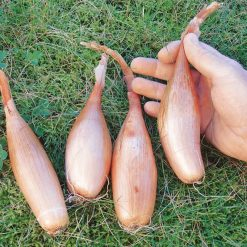 Shallot Zebrune by Suttons Seeds| 177905| Nationwide Delivery