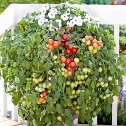 Tomato Cherry Falls by Suttons Seeds  180558  Nationwide Delivery